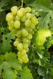 Uvas para vinho brancas que riping no vinhedo, vinho dos frutos saudáveis GR Fotografia de Stock