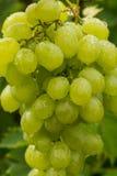Uvas para vinho brancas que riping no vinhedo, vinho dos frutos saudáveis GR Imagens de Stock