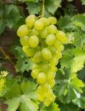 Uvas para vinho brancas que riping no vinhedo, vinho dos frutos saudáveis GR Fotografia de Stock Royalty Free