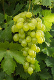 Uvas para vinho brancas que riping no vinhedo, vinho dos frutos saudáveis GR Imagens de Stock Royalty Free