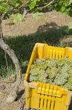 Uvas para vinho colhidas #2 do vinho de Riesling Foto de Stock
