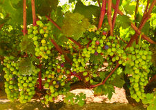 Uvas para vinho, costa central Califórnia Fotografia de Stock Royalty Free