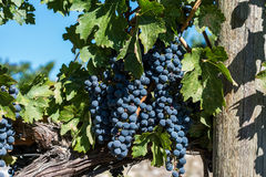Uvas para vinho de Okanagan Fotografia de Stock