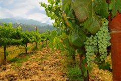 Uvas para vinho de Sauvignon Blanc Fotografia de Stock Royalty Free