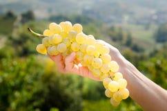 Uvas para vinho disponivéis Fotografia de Stock Royalty Free