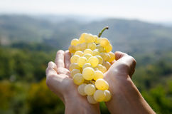Uvas para vinho disponivéis Imagens de Stock Royalty Free