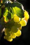 Uvas para vinho douradas foto de stock