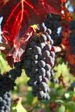 Uvas para vinho maduras no outono Imagem de Stock Royalty Free