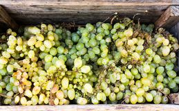 Uvas para vinho na caixa de madeira Imagens de Stock