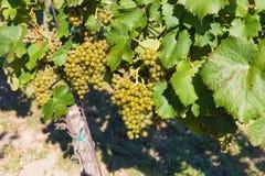 Uvas para vinho na planta, vinhedos de Mikulov, Moravia do sul, República Checa Imagens de Stock Royalty Free