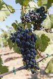 Uvas para vinho na videira Fotos de Stock