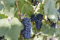 Uvas para vinho na videira Imagem de Stock Royalty Free