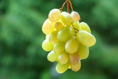 Uvas para vinho na videira Vinhedo ensolarado no fundo imagem de stock royalty free