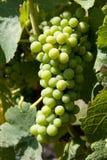 Uvas para vinho no vinhedo Foto de Stock Royalty Free
