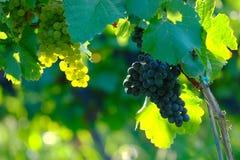 Uvas para vinho no vinhedo, Maribor, Eslovênia imagem de stock