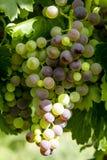 Uvas para vinho que penduram no vinhedo Fotos de Stock
