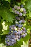 Uvas para vinho que penduram no vinhedo Imagem de Stock Royalty Free