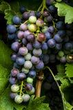 Uvas para vinho que penduram no vinhedo Fotos de Stock Royalty Free