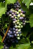 Uvas para vinho que penduram no vinhedo Imagens de Stock