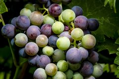 Uvas para vinho que penduram no vinhedo Fotografia de Stock Royalty Free