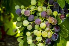 Uvas para vinho que penduram no vinhedo Imagens de Stock Royalty Free