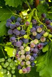 Uvas para vinho que penduram no vinhedo Fotografia de Stock