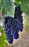 Uvas para vinho roxas Fotografia de Stock Royalty Free