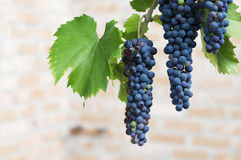 Uvas para vinho roxas Fotos de Stock