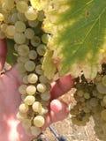 Uvas para vinho saborosos antes da colheita Foto de Stock