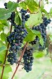 Uvas para vinho saborosos antes da colheita Fotos de Stock Royalty Free