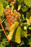 Uvas para vinho saborosos antes da colheita Imagem de Stock