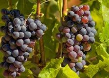Uvas para vinho saborosos antes da colheita Imagens de Stock
