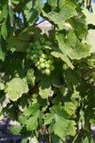 Uvas para vinho verdes frescas Imagem de Stock