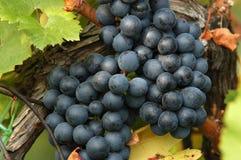 Uvas para vinho vermelhas Imagem de Stock Royalty Free