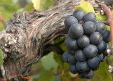 Uvas para vinho vermelhas Fotos de Stock