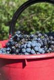 Uvas para vinho vermelhas Foto de Stock Royalty Free