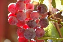 Uvas para vinho vermelhas Fotografia de Stock