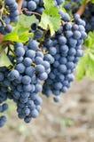 Uvas para vinho vermelhas de cabernet - de sauvignon na videira #4 Fotografia de Stock Royalty Free