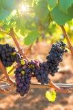 Uvas para vinho vermelhas na videira Imagem de Stock Royalty Free