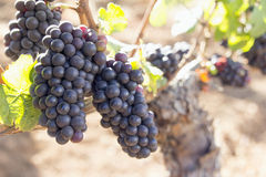 Uvas para vinho vermelhas que crescem na vinha velha Fotos de Stock