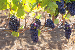 Uvas para vinho vermelhas que penduram em vinhas fotos de stock royalty free