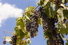 Uvas para vinho violetas Fotografia de Stock Royalty Free
