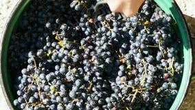Uvas pretas do esmagamento em uma cubeta filme