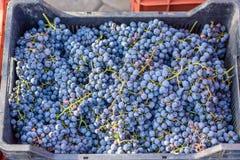 Uvas pretas em uma cesta foto de stock