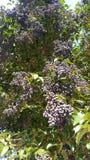 Uvas prontas para a colheita Fotos de Stock