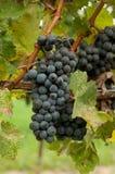 Uvas prontas para a colheita Fotografia de Stock