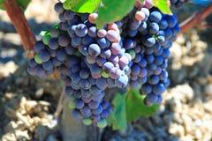 Uvas prontas para o bom vinho Imagens de Stock Royalty Free