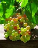 Uvas que brillan intensamente en la vid Foto de archivo