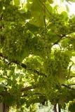 Uvas que crecen en un enrejado Imagen de archivo libre de regalías