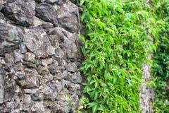 Uvas que crecen en una pared de piedra vieja imagenes de archivo